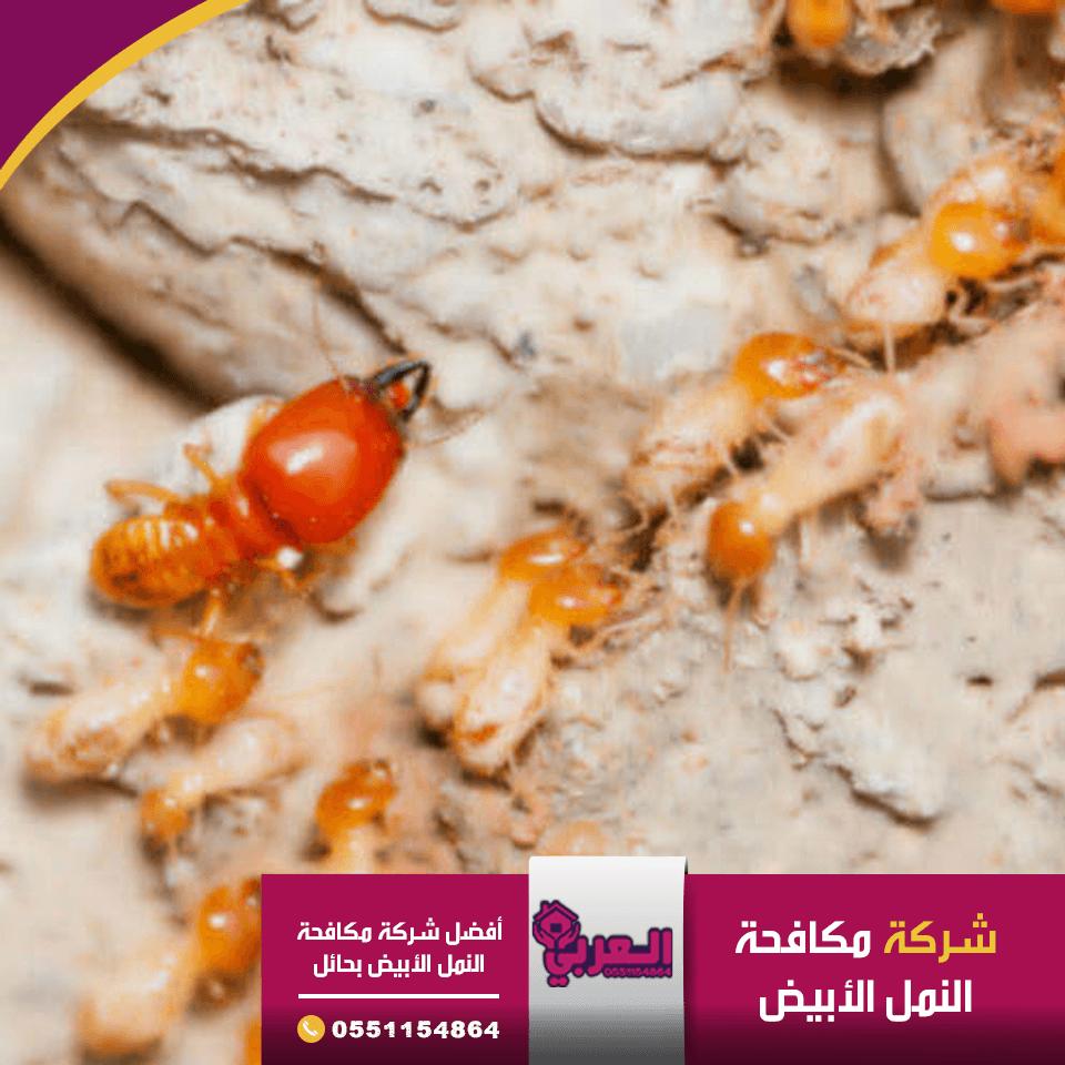شركة مكافحة النمل الابيض بحائل - مكافحة الحشرات بحائل