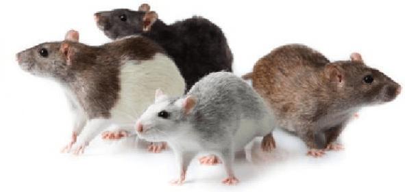 التخلص من الفئران نهائيا