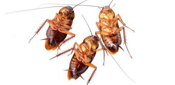 القضاء على الصراصير المنزلية